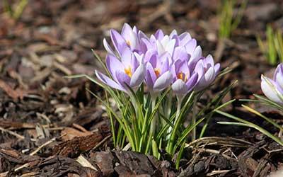 fleurs de safran sur le sol.