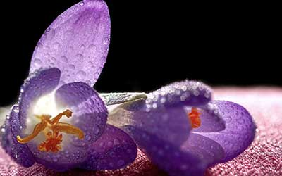 fleurs de crocus couché avec des gouttes de rosée.