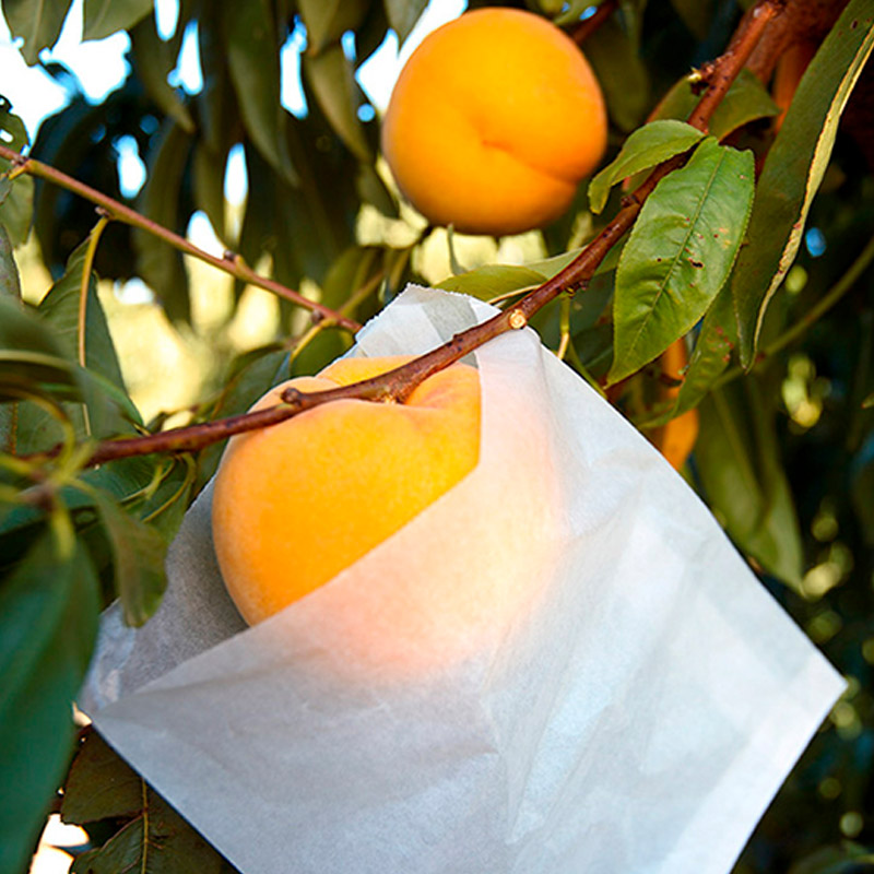 Peach cultivation