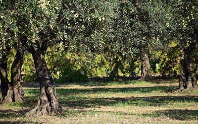 olive groves with an olive tree on the left.